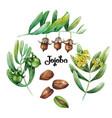 watercolor jojoba plant vector image