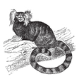 Common marmoset vintage engraving vector image vector image
