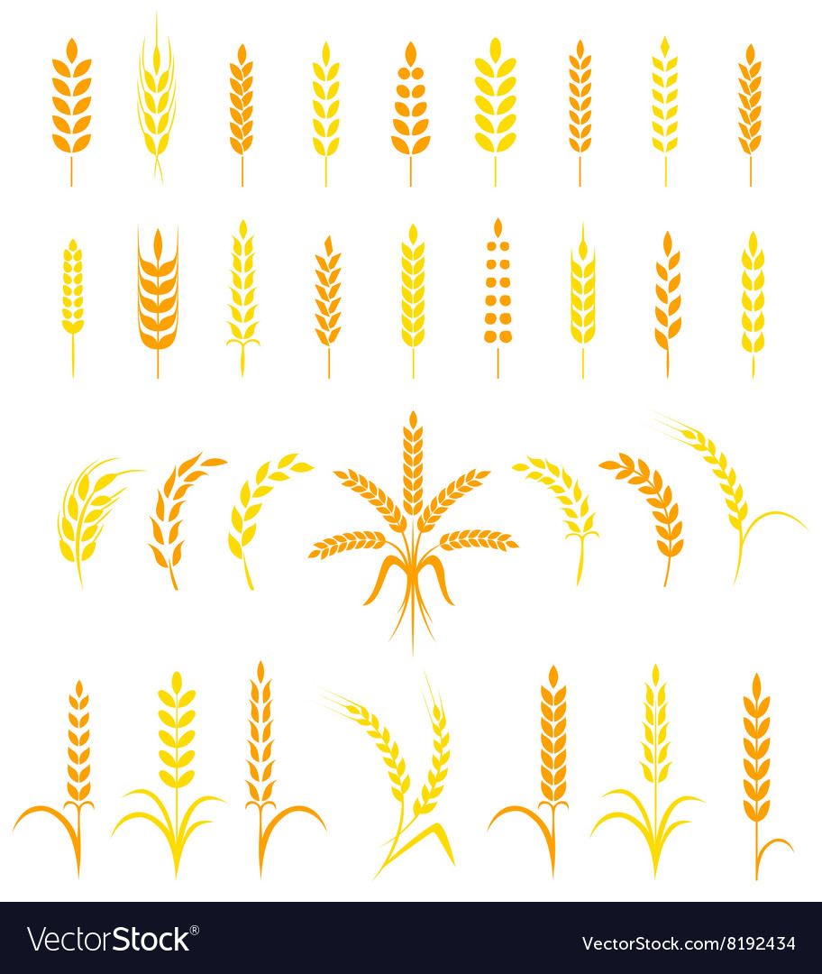 Set of simple and stylish wheat ears icons vector