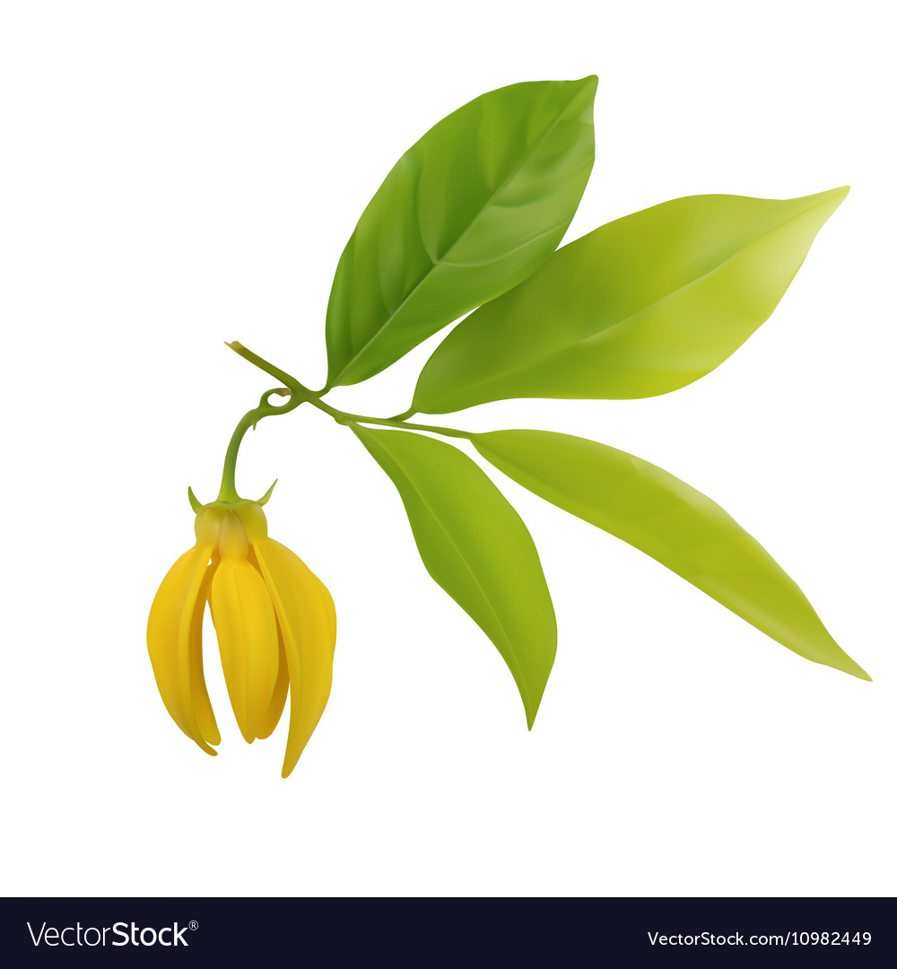Ylangylang flower with leaf isolated vector