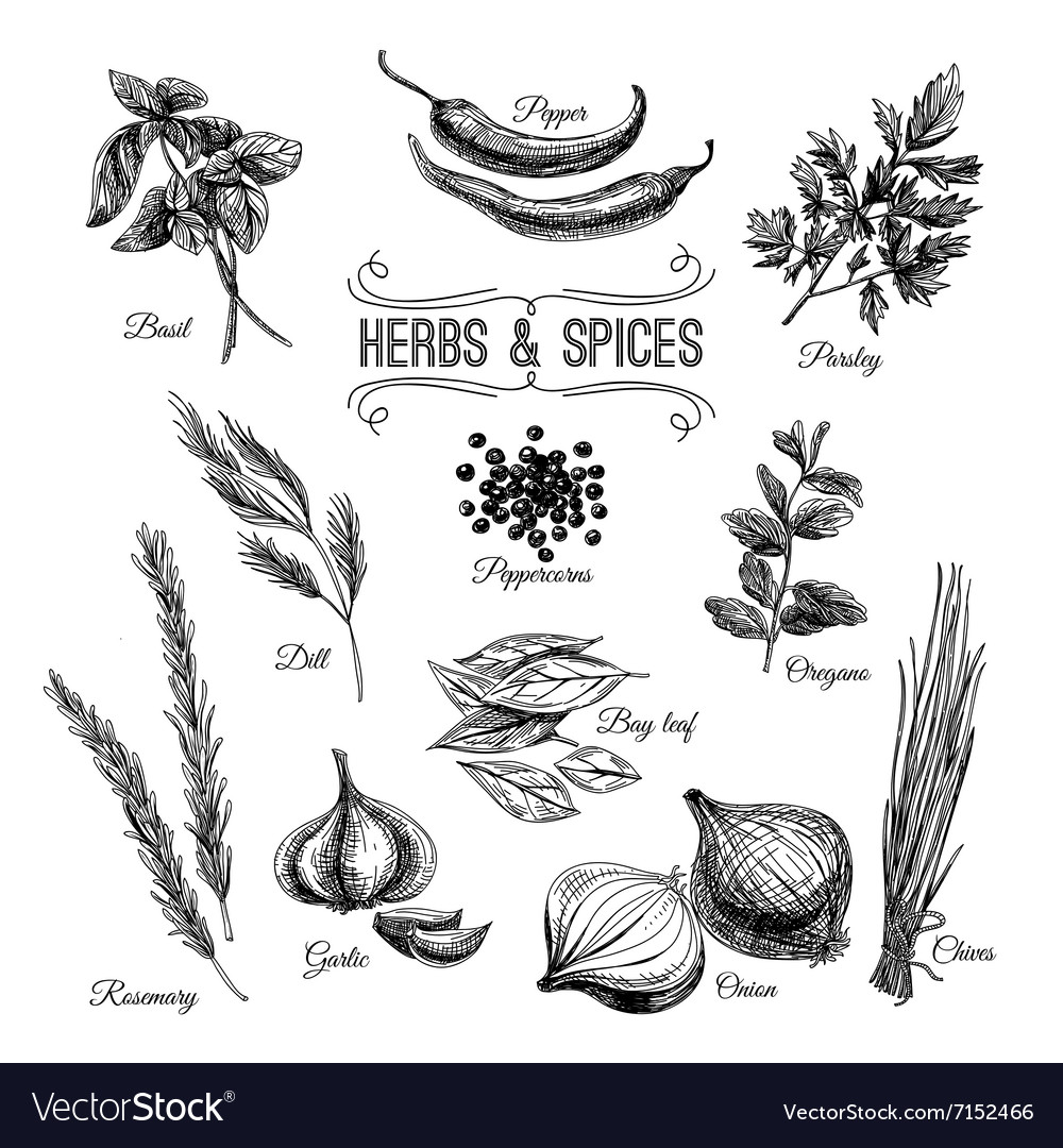 Hand drawn set with culinary herbs and vector