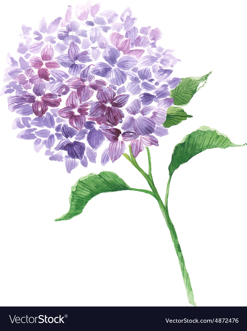 Branch of violet hydrangea vector