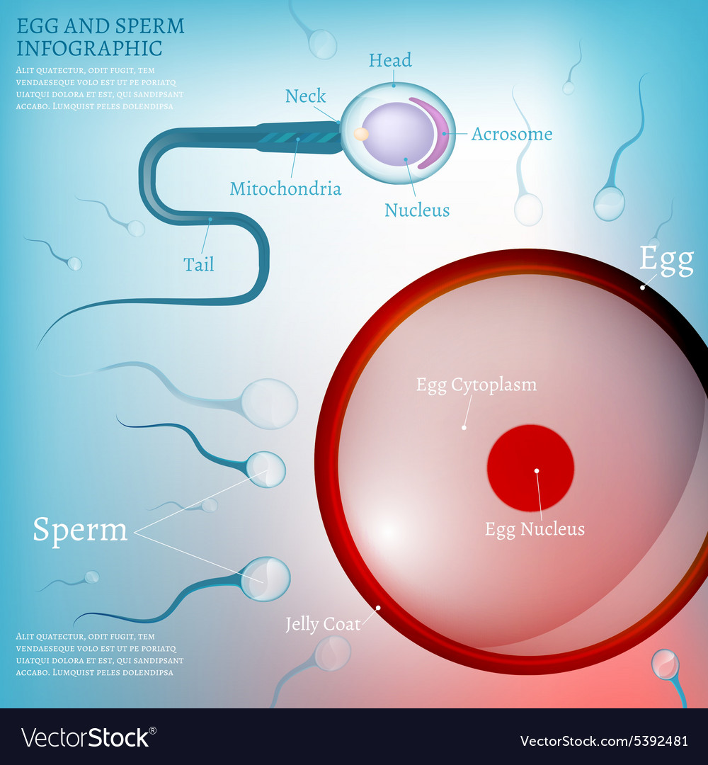 01 egg fertilization vector