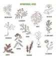 antimicrobial herbs hand drawn set of medicinal vector image