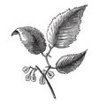 Slippery elm vintage engraving vector image vector image