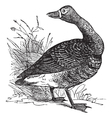 White fronted goose engraving vector image
