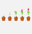 tulip growth stage planting and growing tulips vector image