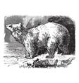Polar bear vintage engraving vector image vector image