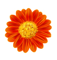 Mexican Sunflower Weed vector image