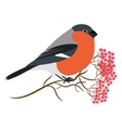 Bullfinch isolated on white Sitting at a vector image