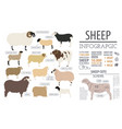 sheep breed infographic template farm animal flat vector image