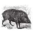 Collared peccary vintage engraving vector image