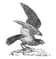 Osprey vintage engraving vector image