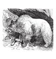 Syria bears vintage engraving vector image vector image