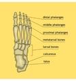 Foot bones with explanation vector image