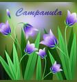 Beautiful Flower of Campanula Rotundifolia Flower vector image