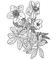 plant helleborus niger vector image vector image