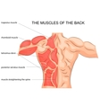 muscles of the back bodybuilder vector image