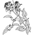 plant clematis vitalba vector image vector image