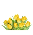 Yellow Tulips Flowers EPS 10 vector image