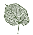 linden leaf isolated on white background vector image vector image