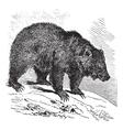 Bear vintage engraving vector image vector image