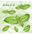 Leaves of herb basil Isolated on white background vector image