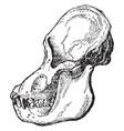 adult male orangutan skull viewed from side vector image