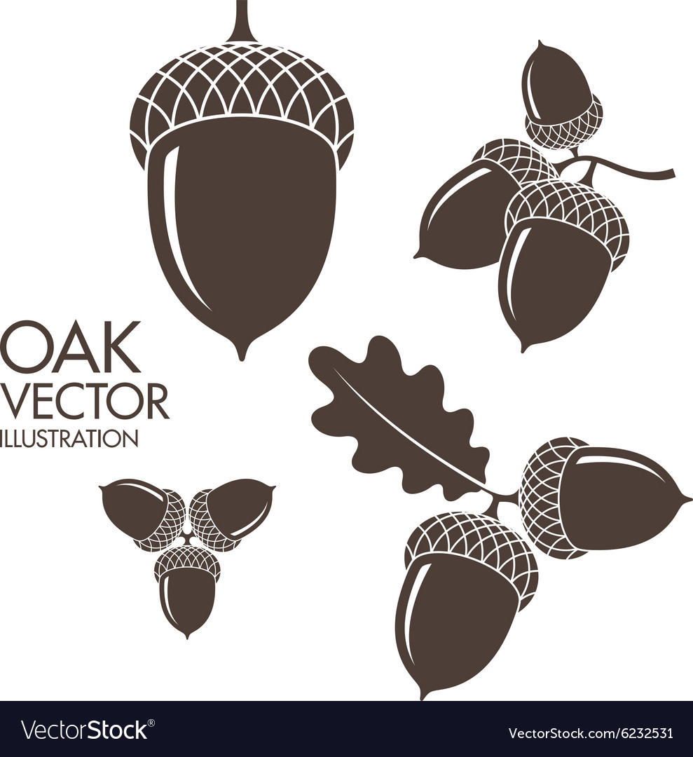Oak isolated acorns on white background vector