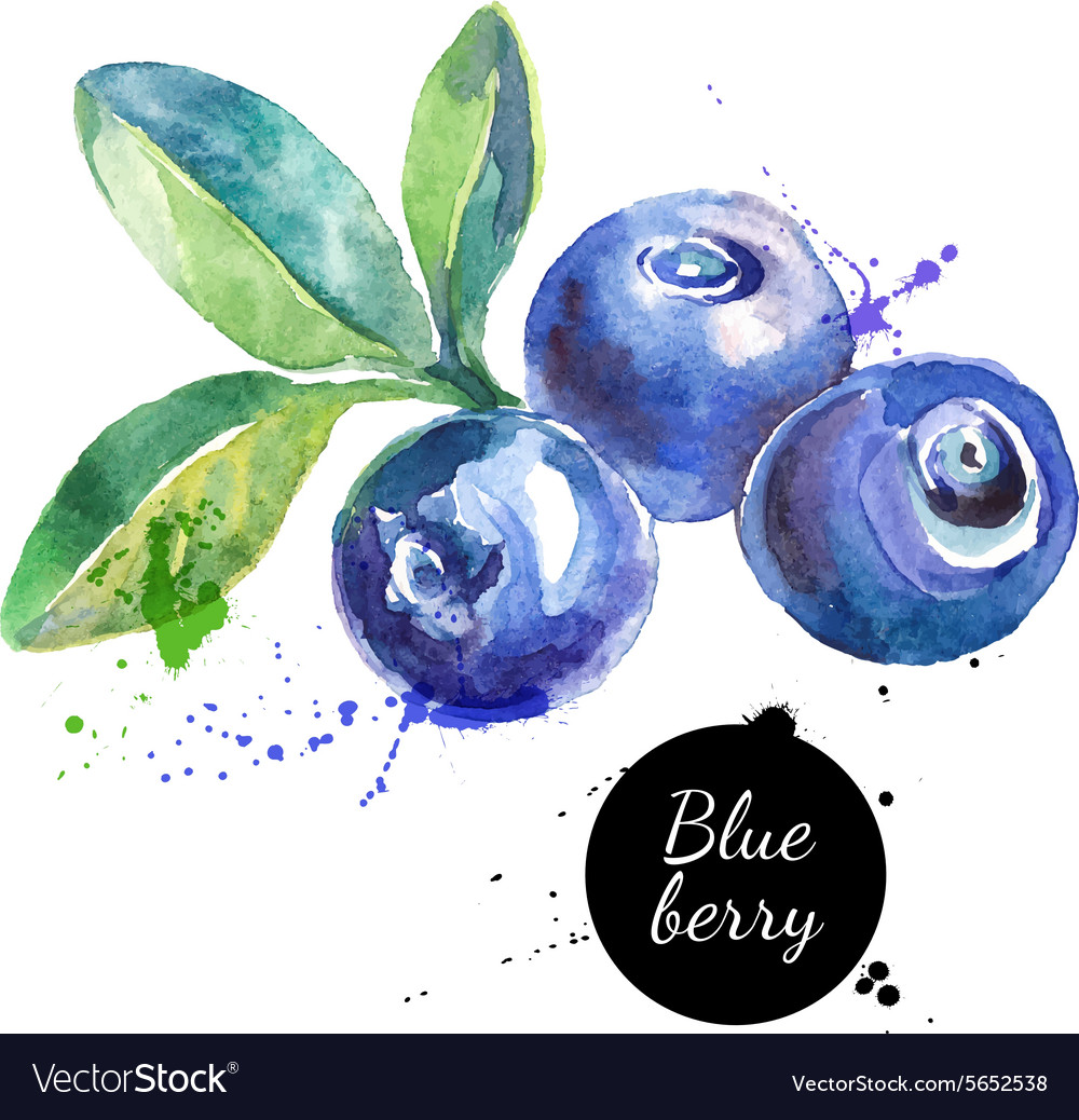 Hand drawn watercolor painting blueberry on white vector