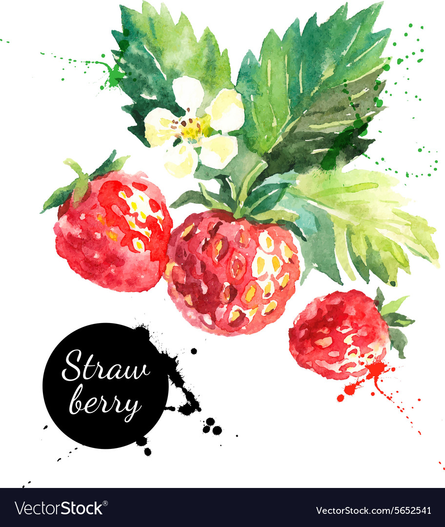 Hand drawn watercolor painting strawberry on white vector