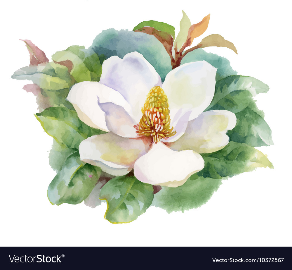 Watercolor summer blooming white magnolia flower vector