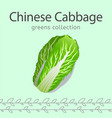 chinese cabbage image vector image