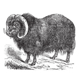 musk ox vintage engraving vector image vector image