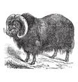 musk ox vintage engraving vector image