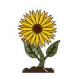beautiful sunflower isolated vector image