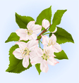 Twig of apple tree with flowers vector image