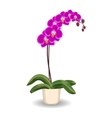 Orchid flowerpot on white background vector image vector image