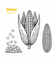 maize hand drawn vector image