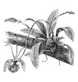 Butterfly Oncidium vintage engraving vector image vector image