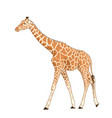 giraffe adult animal realistic detailed drawing vector image