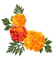 marigolds on white vector image
