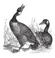 Canadian Goose vintage engraving vector image vector image