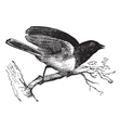 Dark-eyed Junco vintage engraved vector image vector image