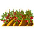 tomato plant vector image