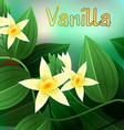 Vanilla orchid Vanila planifolia with green leaves vector image