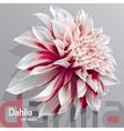 Dahlia grey background vector image vector image