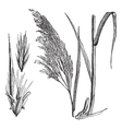 Common reed vintage engraving vector image