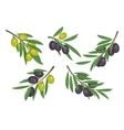 Agriculture olive branch with ripe and raw berries vector image