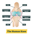 the human knee diagram vector image